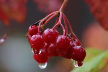 7 причин, по которым стоит есть калину осенью и зимой
