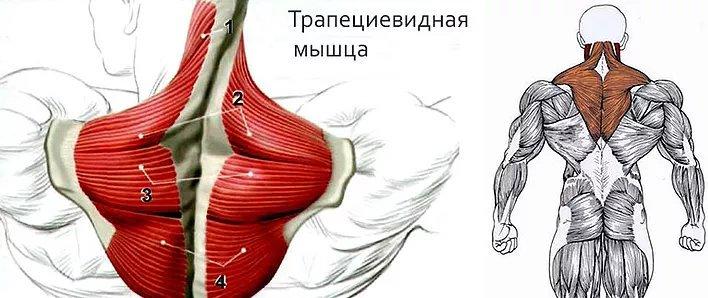 трапецевидная мышца